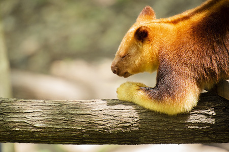 Goodfellow's Tree-kangaroo out in nature during the day