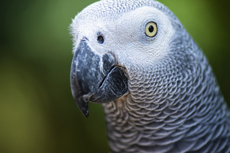 African Grey Parrot out in nature during the day 免版税图像