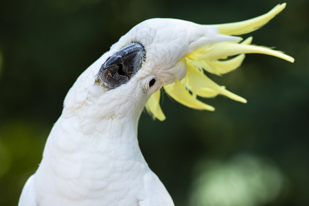 Yellow Crested Cockatoo out in nature during the day