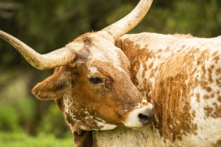 Animal cruelty against a longhorn bull showing blood, cuts and markings.