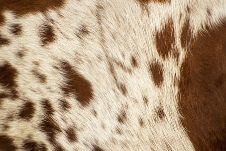 Closeup pattern of a Longhorn bull cowhide. Stock Photo