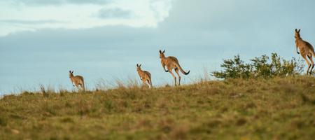 Kangaroos outdoors amongst nature during the daytime. Stock Photo