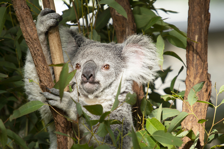 Cute Australian Koala in a tree resting during the day.