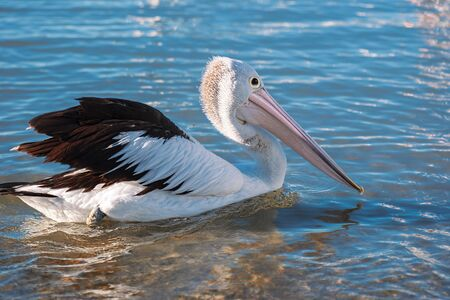 Australian pelican swimming during the day time.