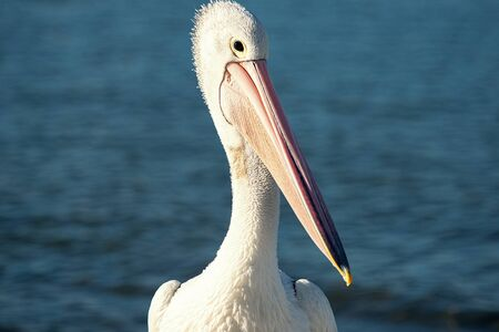 Australian pelican outside amongst nature during the day time.