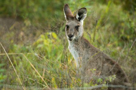 Cute Australian Kangaroo outdoors amongst nature during the day.