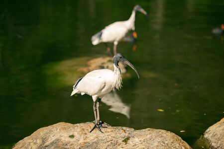 Australian White Ibises outside standing on a rock near the water.