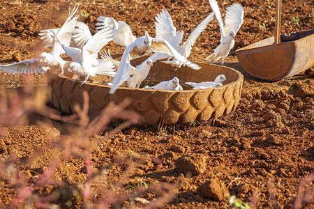 Flock of corella birds resting in an old tyre against red rich soil.