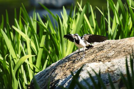 Magpie Lark also known as a Pee Wee outside in nature during the day.