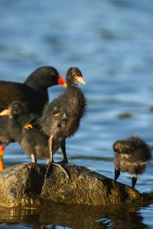 Purple Swamphen family out in nature during the day
