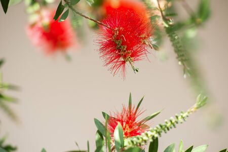 Bottlebrush tree with beautiful red flowers.