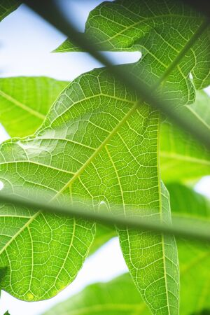 Close up of the green leaves of a Paw Paw tree