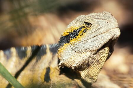Eastern Water Dragon outside in nature during the day. Stock fotó