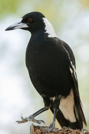 Australian magpie outside during the day time. Stock fotó