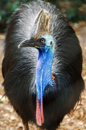 Australian Southern Cassowary out in nature 写真素材