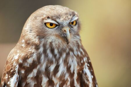 Barking owl with beautiful yellow eyes amongst nature.