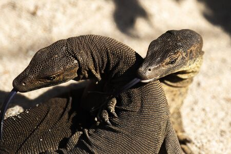 Mertens Water Monitors play fighting outside during the day