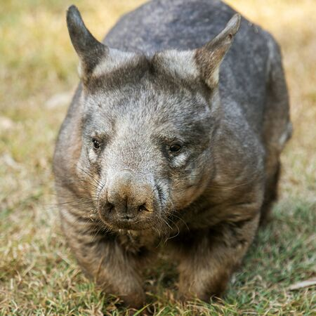 Large Southern Hairy-nosed Australian Wombat outside during the day. Stock fotó