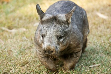 Large Southern Hairy-nosed Australian Wombat outside during the day. 写真素材