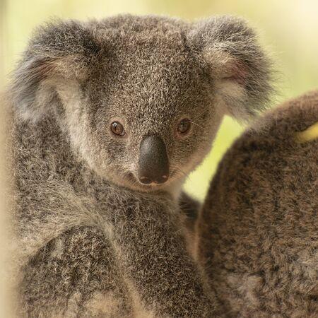 Cute Australian koala joey resting in a eucalyptus tree.