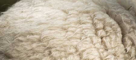 Animal background view. Close up to natural sheep's fluffy wool.