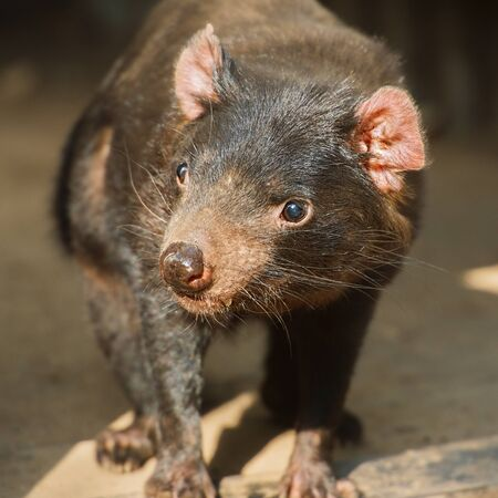 Australian Tasmanian Devil outside during the day.