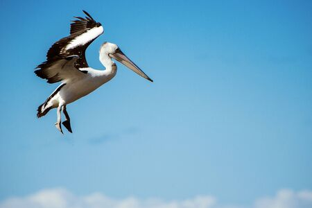 Australian pelican flying during the day time.