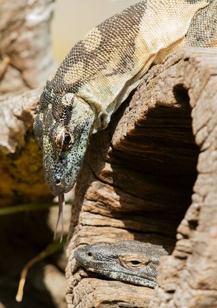 Australian lace monitors out in nature during the day. 写真素材