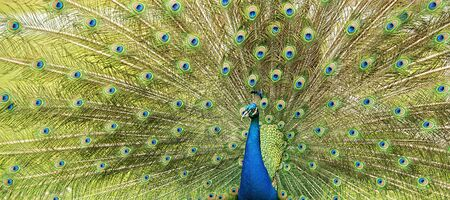 Peacock outdoors during the daytime amongst nature.