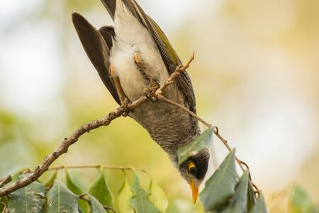 Noisy miner bird outside amongst nature during the day