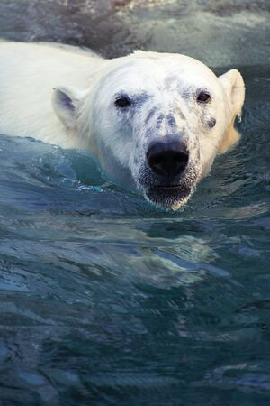 Grote ijsbeer die in koud water zwemt Stockfoto