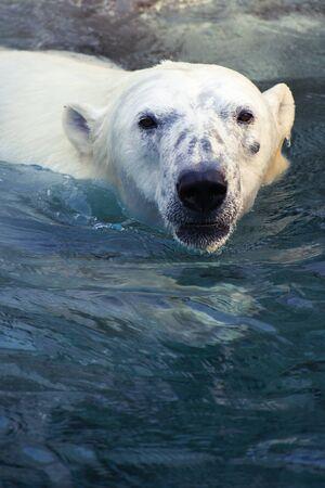 Large polar bear swimming in cold water 版權商用圖片
