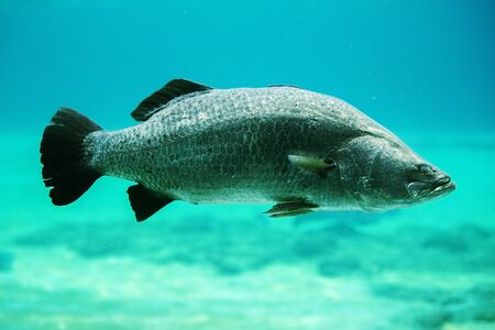 Close up of a large barramundi swimming