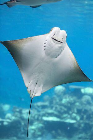 Gros plan d'un Bat Ray nageant dans l'eau Banque d'images