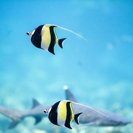 Moorish Idol fish swimming in the blue water