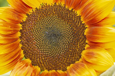 Detailed closeup of a beautiful sunflower spotted at Mount Coot-tha Botanical Gardens, Brisbane, Queensland.
