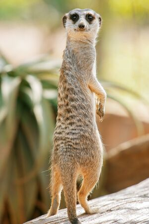 Adorable meerkat outside in nature during the day. Foto de archivo