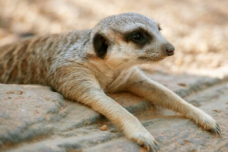 Adorable meerkat outside in nature during the day. Stock Photo