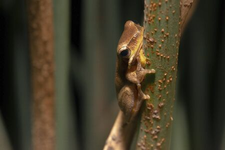 Close up of a Wallum sedge frog also known as a Olongburra frog.