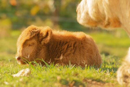 Highland calf resting beside its mother in the countryside on a summers day.