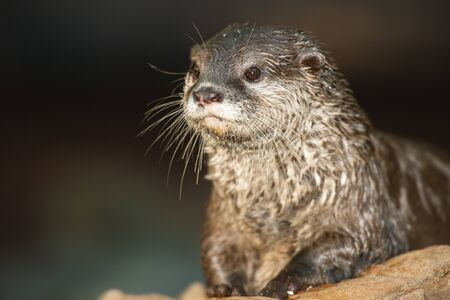 Very cute Asian Small-clawed otter closeup