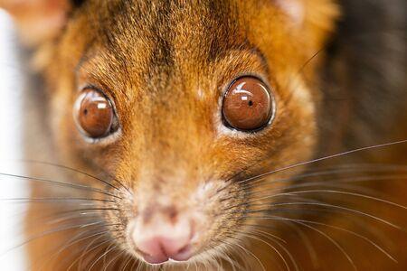 Detailed closeup of an Australian Ringtail Possum