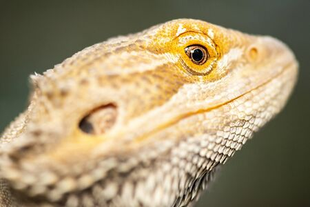 "Pogonas are a genus of reptiles containing eight lizard species which are often known by the common name bearded dragons. The name ""bearded dragon"" refers to the ""beard"" of the dragon, the underside of the throat."