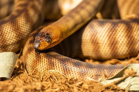 The woma python is a species of snake in the family Pythonidae. The species is endemic to Australia. Once common throughout Western Australia, it has become critically endangered in some regions.