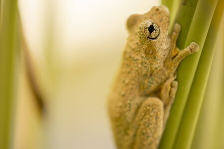 Emerald-spotted Tree Frog also known as Litoria peronii.