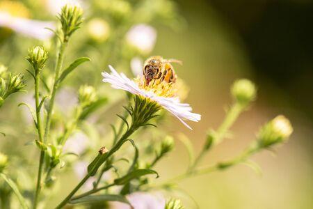 European honey bee also known as Apis mellifera.