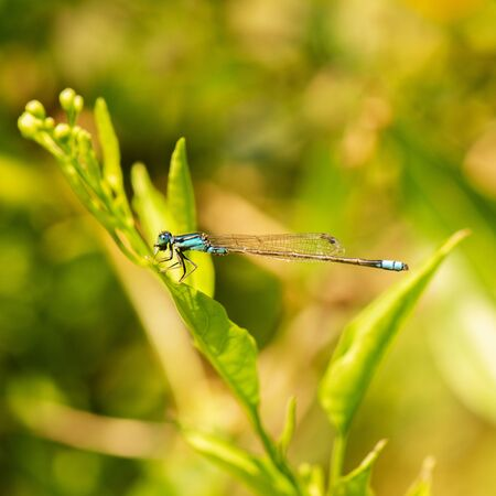 Blue-tailed damselfly also known as Ischnura elegans.