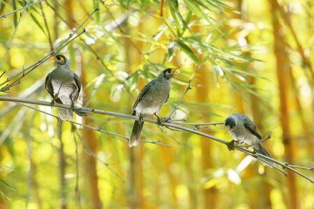 Noisy miner birds also known as Manorina melanocephala Banco de Imagens