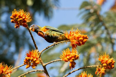 Rainbow lorikeet bird also known as Trichoglossus moluccanus.