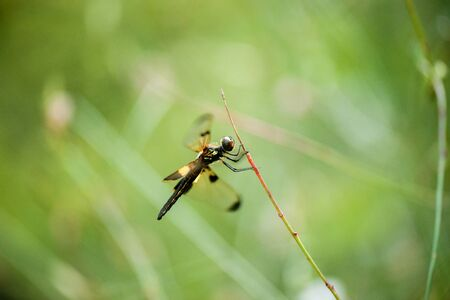 Yellow-striped Flutterer Dragonfly also known as Rhyothemis phyllis.